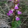 "Orchis collina • <a style=""font-size:0.8em;"" href=""http://www.flickr.com/photos/92401204@N04/8656868199/"" target=""_blank"">View on Flickr</a>"