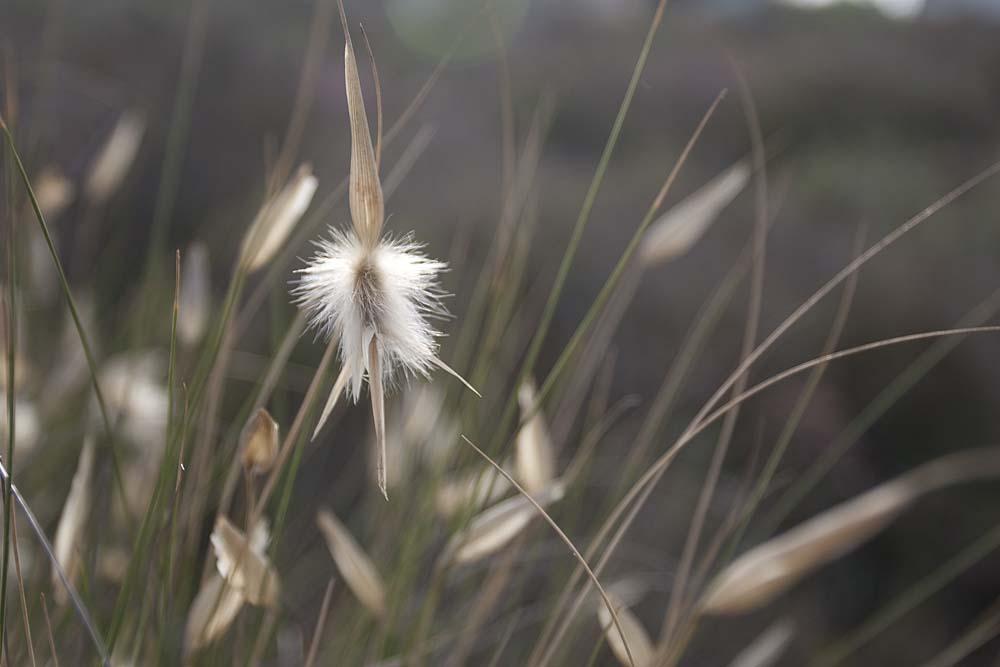 Espiga de albardín (S. Arroyo)