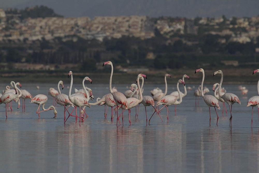 Flamencos, al fondo el entorno de la laguna intensamente urbanizado (S. Arroyo)