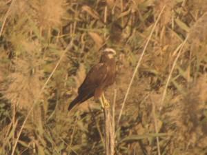 Lagunero en el pantano de Elche (O. Aldeguer)