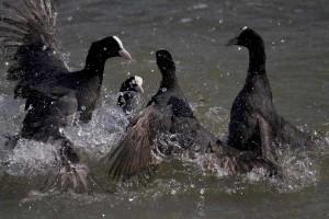 Pelea de fochas comunes en la desembocadura del Segura (S. Arroyo)