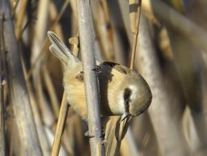 Pájaro moscón en la desembocadura del Segura (J. Ramos)