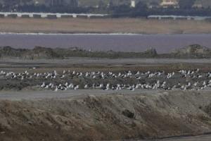 Gaviotas sombrías en la laguna de Torrevieja (S. Arroyo)