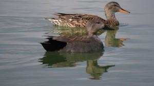 Pareja de ánade friso en las lagunas de Lo Monte (S. Arroyo)
