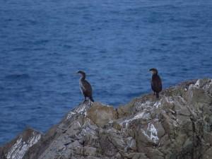 Cormoranes moñudos en  Tabarca (O. Aldeguer)