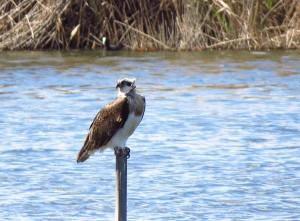 Águila pescadora en El Hondo (J. Marco)