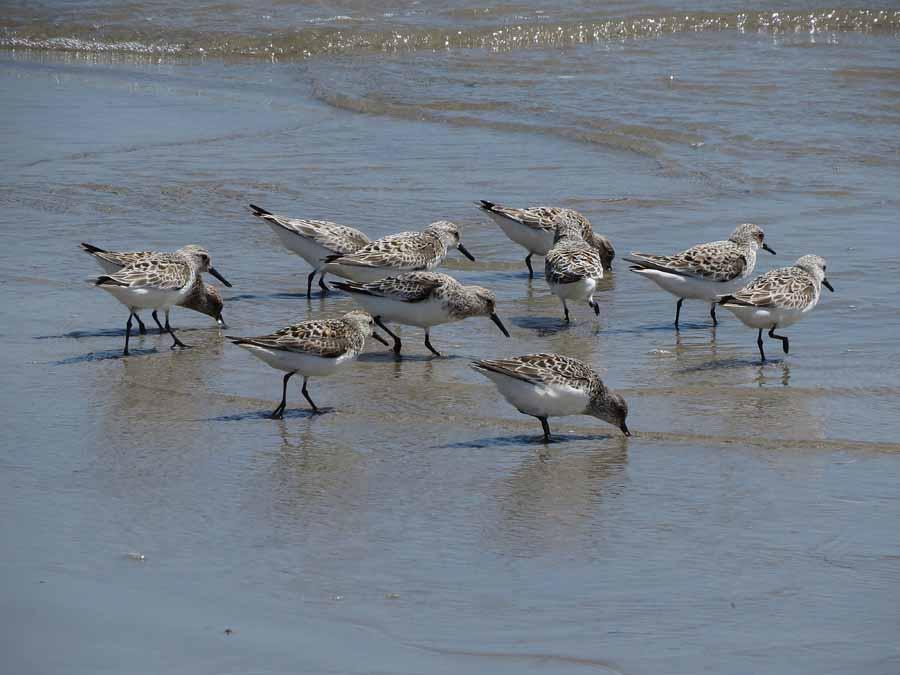 Correlimos tridáctilos en la desembocadura del Segura. (S. Arroyo)