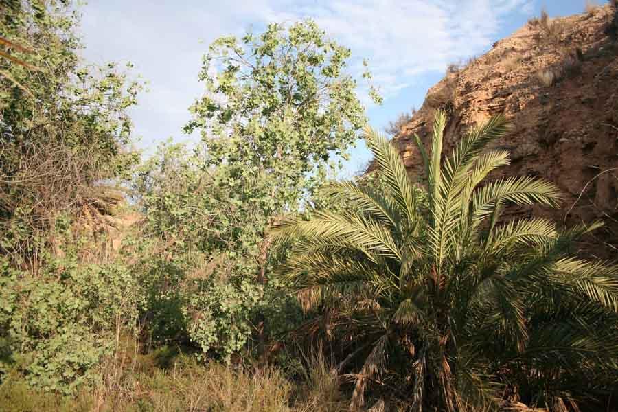 Ejemplar de P. euphratica de la nueva población detectada en Abanilla (A. Ruiz)