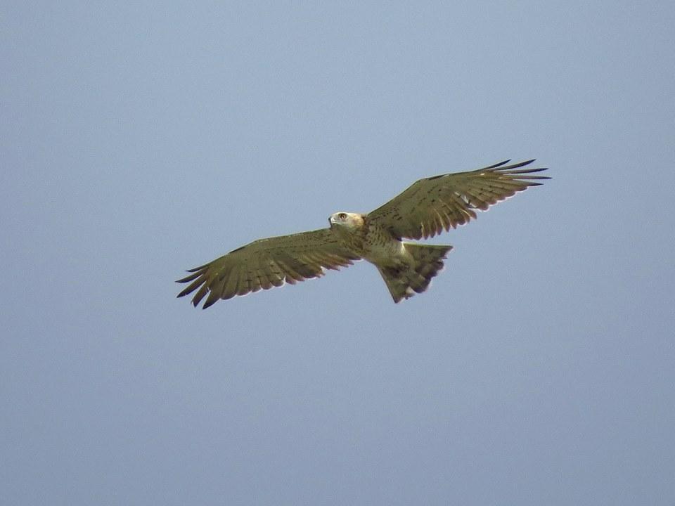 Águila culebrera en El Hondo (J. Marco)