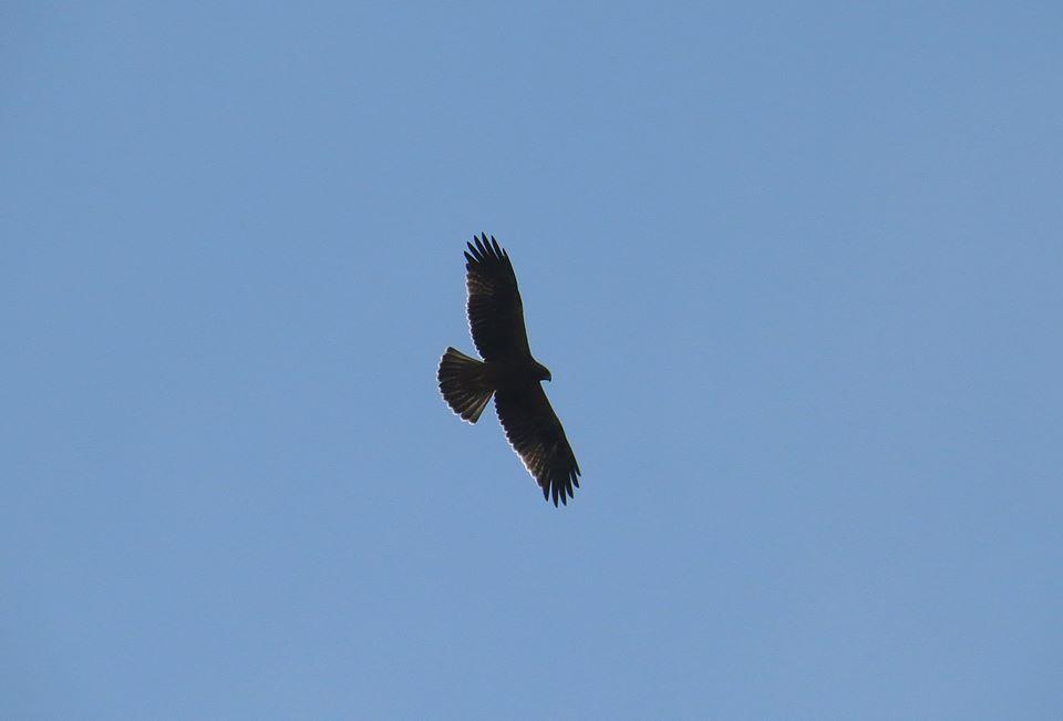 Águila calzada en Carrizales (J. Ramos)
