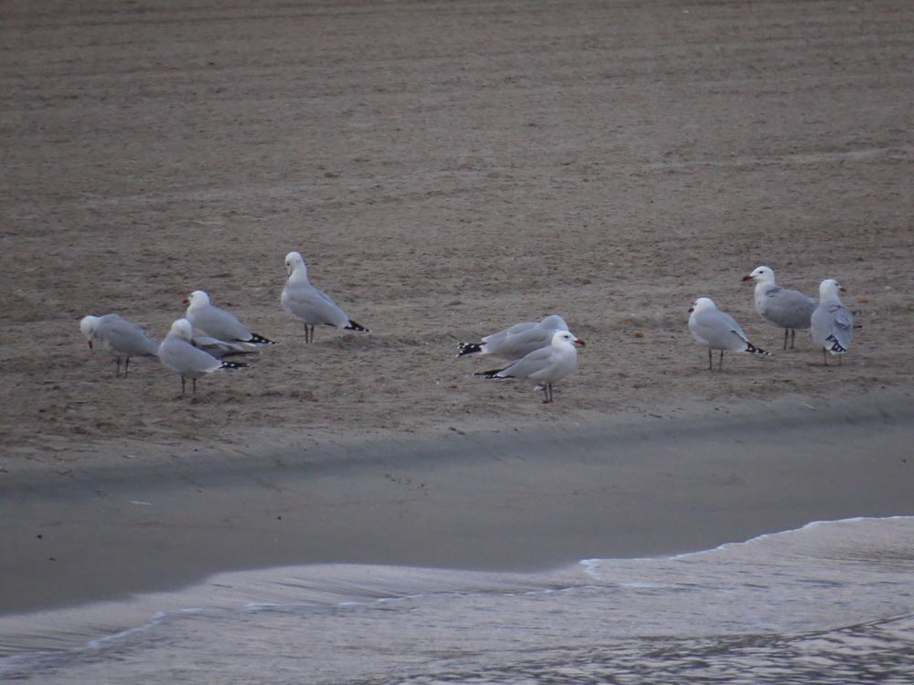 Gaviotas de audouin en la playa de Santa Pola (O. Aldeguer)