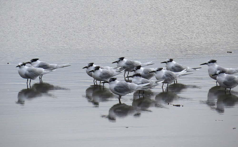 Charranes patinegros en la desembocadura del río Segura (J. Ramos)