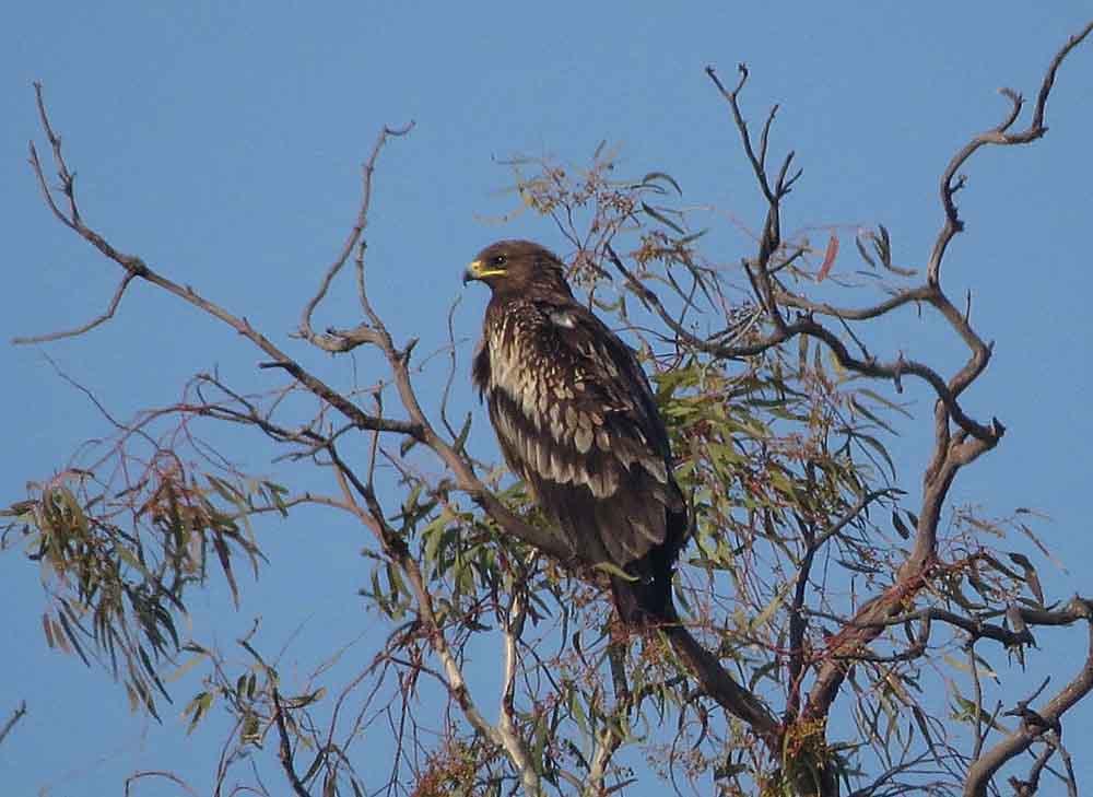 Águila moteada en El Hondo (S. Arroyo)