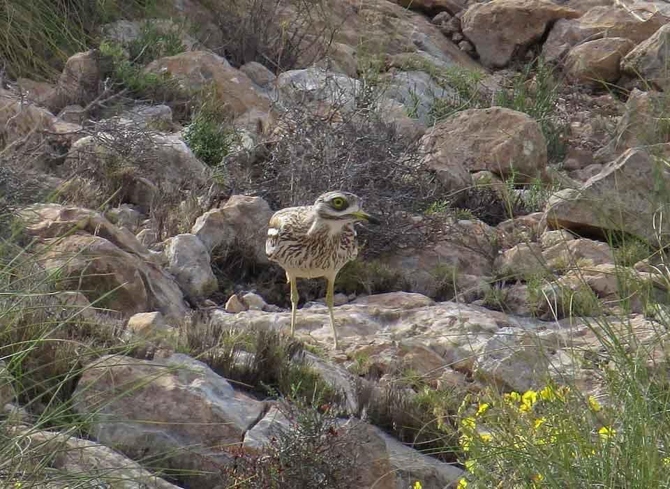 Alcaraván en el Clot de Galvany (J. Ramos)