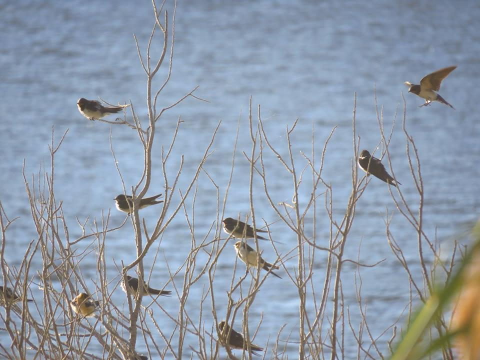 Golondrinas en el pantano de Elche (O. Aldeguer)