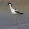 "Avoceta • <a style=""font-size:0.8em;"" href=""http://www.flickr.com/photos/92401204@N04/8657973376/"" target=""_blank"">View on Flickr</a>"
